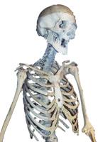 skeletonsm.jpg