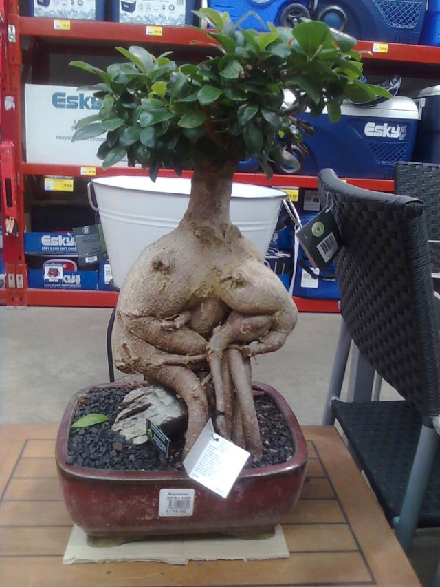 Bunnings-Bonsai-