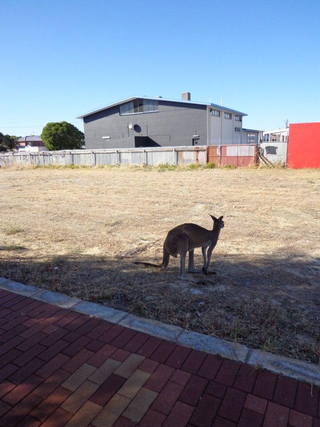inglewood-kangaroo